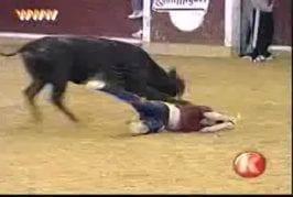 A poil par un taureau
