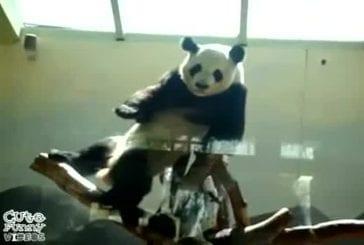 Un panda super chaud