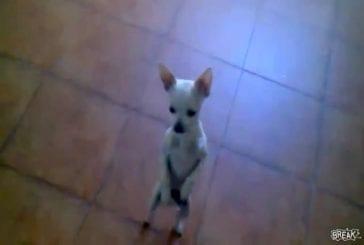Chihuahua danseur