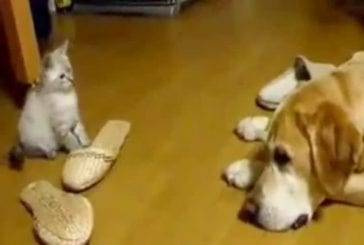 Un petit chaton veut jouer avec un chien et lui saute en plein face !
