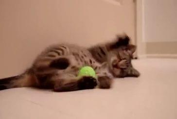 Un petit chaton aveugle joue pour la première fois avec ses jeux !