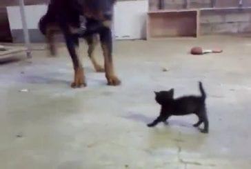 Rottweiller VS Chaton !