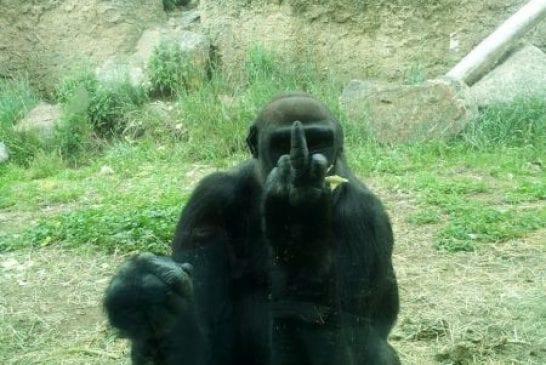 Gorille qui fait un doigt d'honneur
