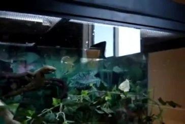 Un Gecko réalise une attaque en backflip