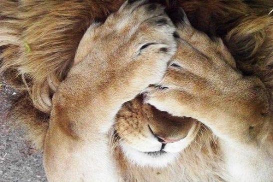 Un lion joue à cache cache
