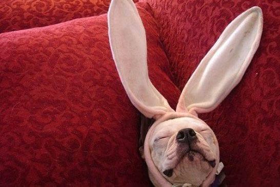 Un chien lapin