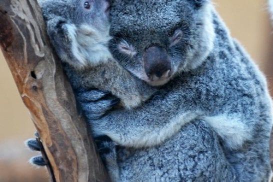 Un armour de koala