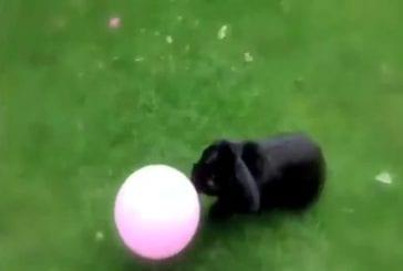 Ce lapin adore son ballon
