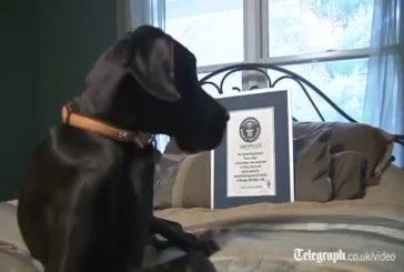 Zeus, le chien le plus grand du monde
