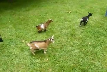 Un bébé chèvre tout excité et raciste !