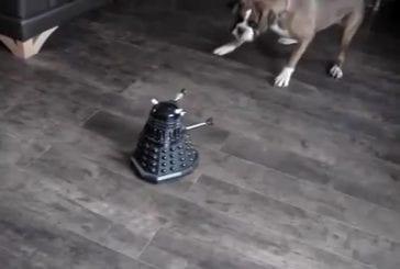 Un chien Boxer contre un robot