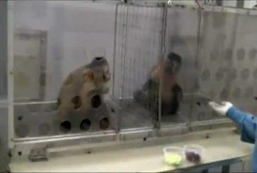 Expérience hilarante sur des singes