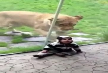 Lion veut manger un bébé
