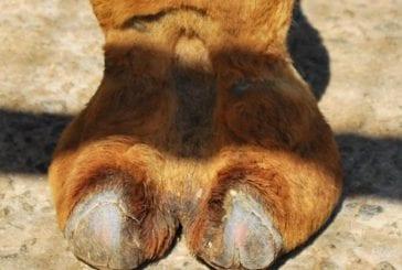 Les pattes de chameau