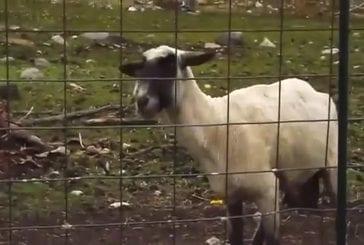 Le mouton qui hurle