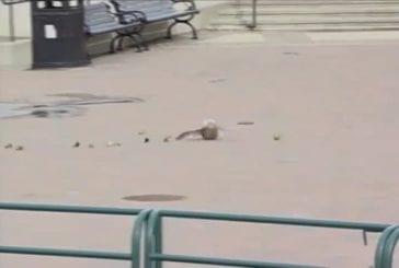 Ducks blown off their feet by the wind