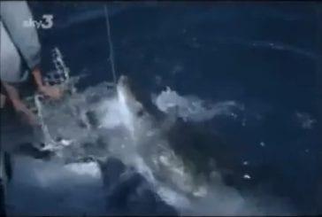 La preuve que les grands requins blancs sont des créatures pacifiques