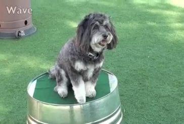 Un mignon petit chien réalise des trucs impressionnants
