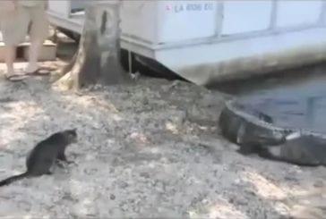 Alligators contre un chat courageux