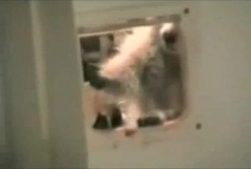 Raton laveur vole un tapis par une chatière