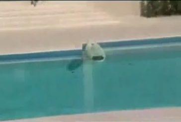 Chat fait du surf sur une piscine