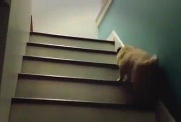 Chien monte bizarrement les escaliers