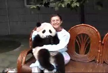 Bébé panda aime recevoir des câlins