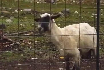 Cri ignoble d'un mouton