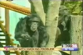 Chimpanzé qui a un problème de tabagisme