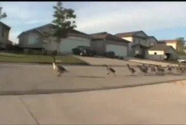 Bienvenue au marathon des canards