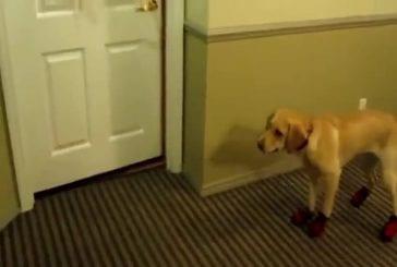 Stupide chien marche avec des chaussures