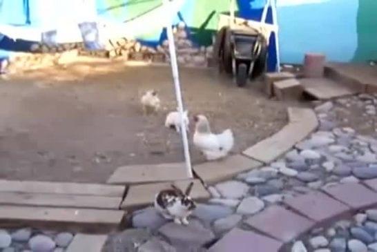 2 poulets séparent des lapins qui se battent
