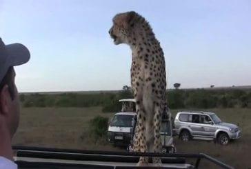 Guépard saute sur le capot d'une jeep