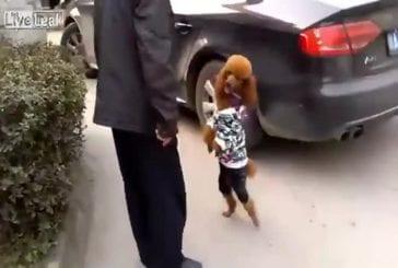 Ce chien préfère marcher sur deux pattes