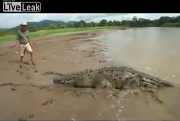 Nourrir à la main un crocodile sauvage de 4,5 mètres de long