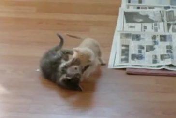 Surprendre des chatons qui se battent