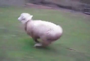Mouton joue avec un chien