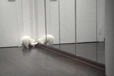 Chat blanc combat son reflet dans le miroir