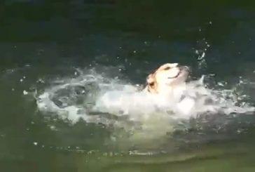 Un chien nage d'une étrange manière