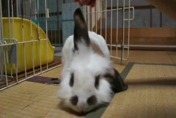 Oreilles de lapin vraiment paresseuses