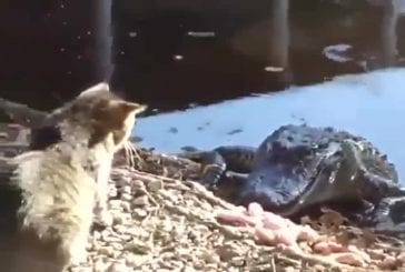 Chat se bat contre un crocodile
