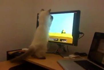 Chat joue à la chasse au canard