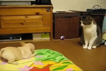 Chiot bouledogue français contre un chaton