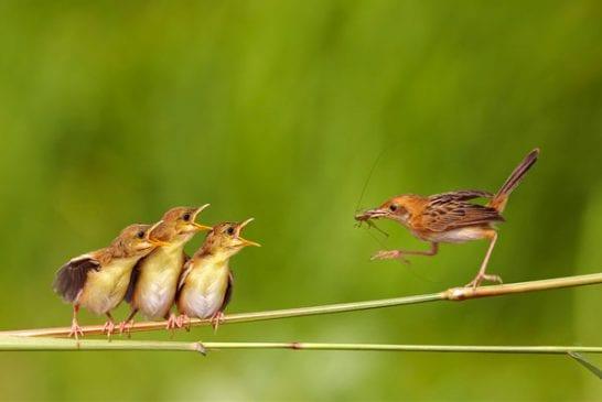 Maman oiseau qui rapporte un insecte à ses oisillons