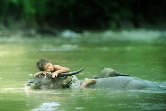 Enfant qui dort sur un buffle