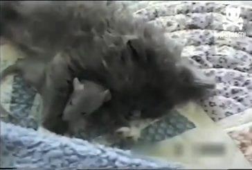 Souris intrépide se blottit à un chat