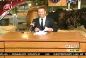 Vache se décharge en direct pendant les news