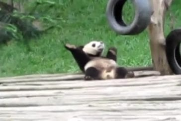 Panda fait un solo de danse