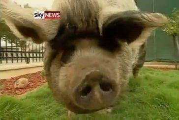 Boris le cochon obèse