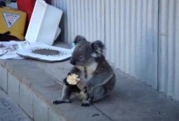 Koala mange une pomme